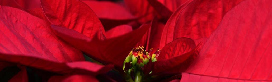 Kerstster giftig en schadelijk voor ogen